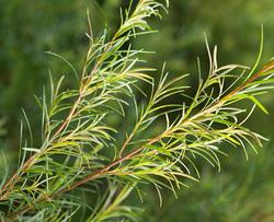 Melaleuca alternifolia arbore de ceai