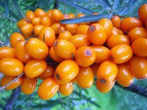 Beneficii Catina – proprietati si beneficii pentru organism