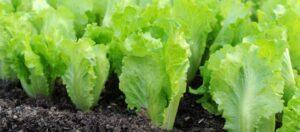 Read more about the article Salata verde – beneficii si proprietati